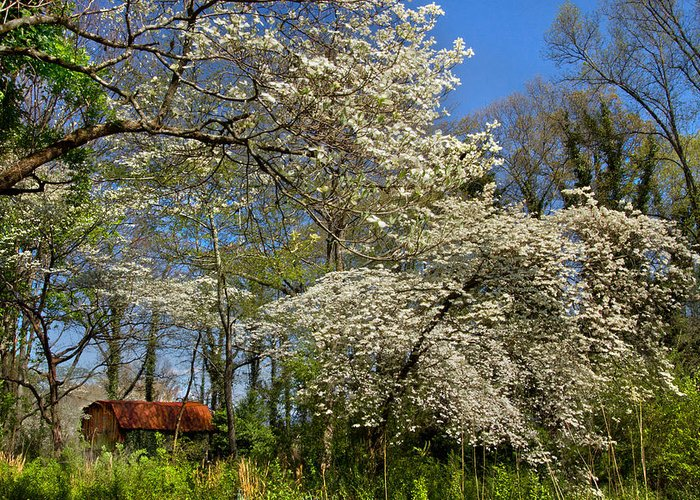 Barn Greeting Card featuring the photograph Dogwood Grove by Debra and Dave Vanderlaan