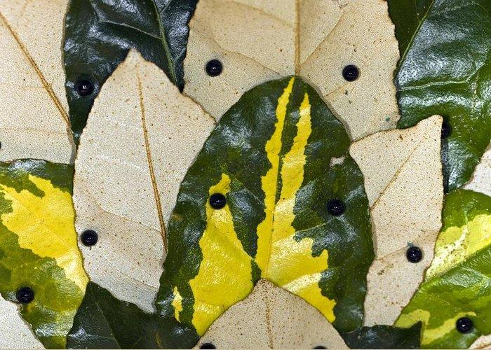 Elaeagnus Pungens Maculata Greeting Card featuring the photograph Elaeagnus Pungens 'maculata' Leaves by Dr Keith Wheeler