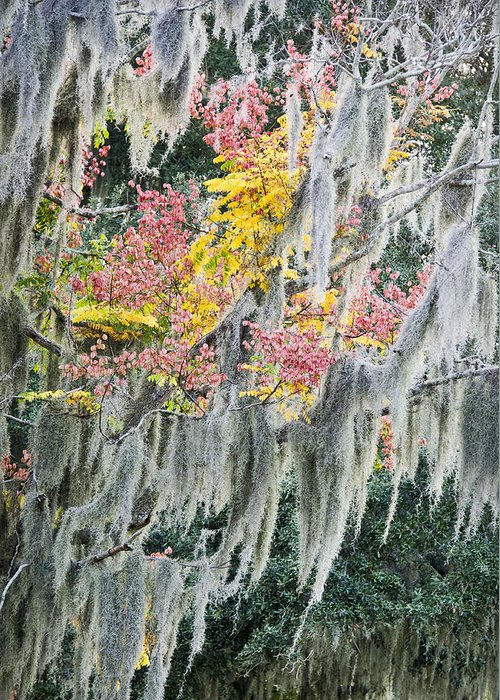 Air Plant Greeting Card featuring the photograph Fall Colors In Spanish Moss by Carolyn Marshall