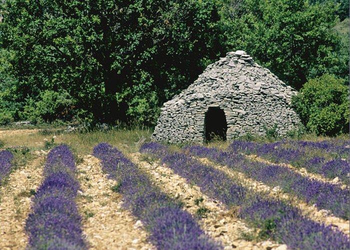 The Tourist Trade Greeting Card featuring the photograph Field Of Lavender. Sault by Bernard Jaubert