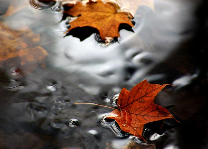 Usa Greeting Card featuring the photograph Floating Maple Leaves by LeeAnn McLaneGoetz McLaneGoetzStudioLLCcom