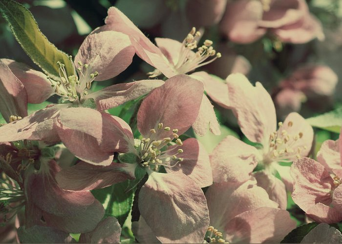 Flower Greeting Card featuring the photograph Flowering Crabapple Muted by Mark J Seefeldt