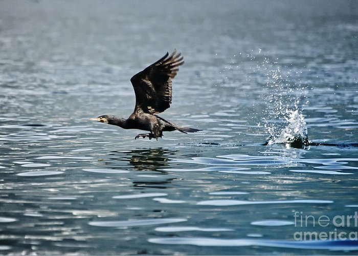 Cormorant Greeting Card featuring the photograph Flying Cormorant Bird by Mats Silvan