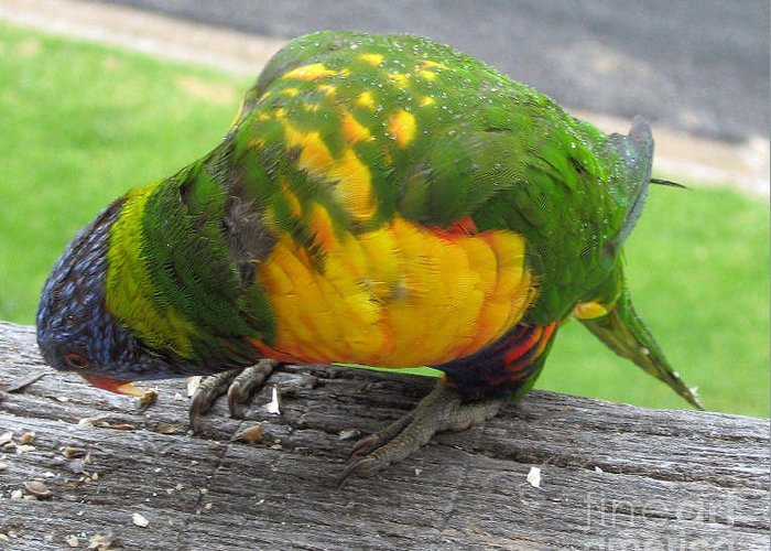 Lorikeet Greeting Card featuring the photograph Free Feed by Joanne Kocwin