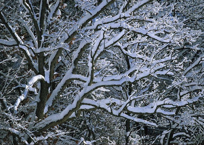 Outdoors Greeting Card featuring the photograph Fresh Snowfall Blankets Tree Branches by Tim Laman