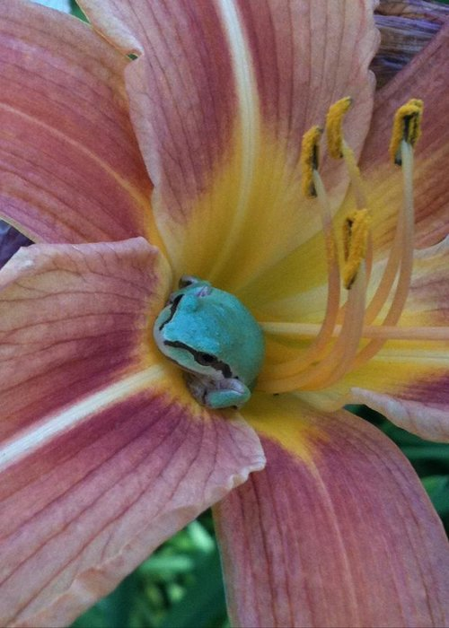 Frogs Greeting Card featuring the photograph Frog In The Day Lilly by Jeremiah Colley