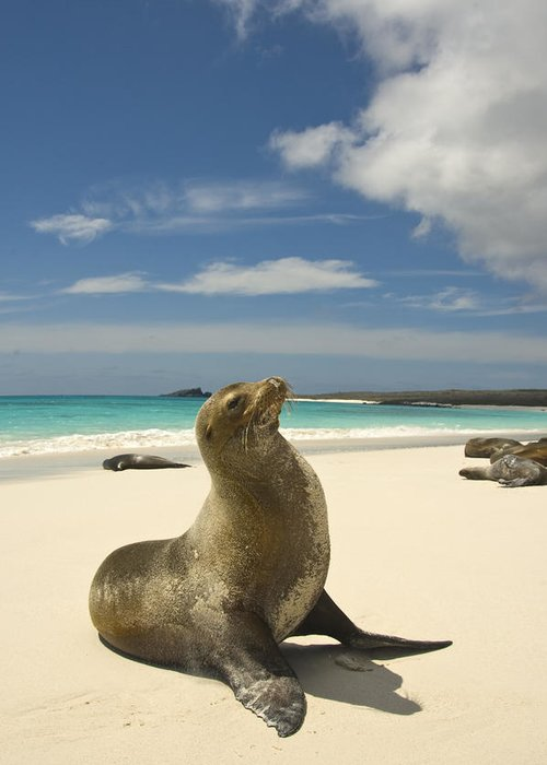 Day Greeting Card featuring the photograph Galapagos Sea Lions Resting On A White by Annie Griffiths
