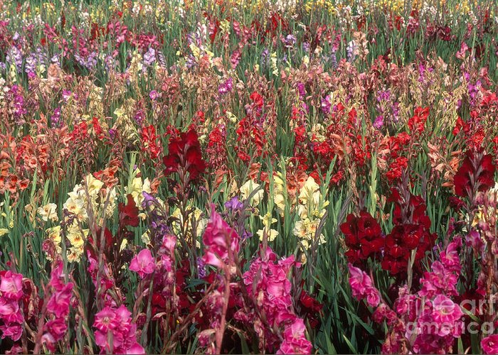 Nature Greeting Card featuring the photograph Gladioli Garden In Early Fall by Yva Momatiuk and John Eastcott and Photo Researchers