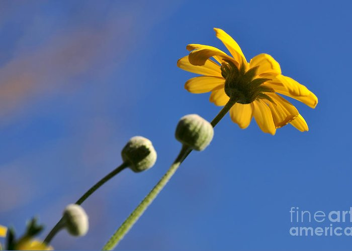 Photography Greeting Card featuring the photograph Golden Daisy On Blue by Kaye Menner