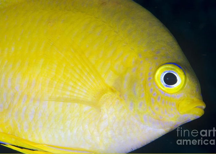 Fish Greeting Card featuring the photograph Golden Damsel Close-up, Papua New by Steve Jones