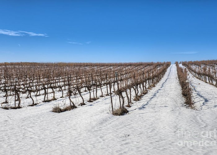 Agricultural Greeting Card featuring the photograph Grapevines In Snow by Noam Armonn
