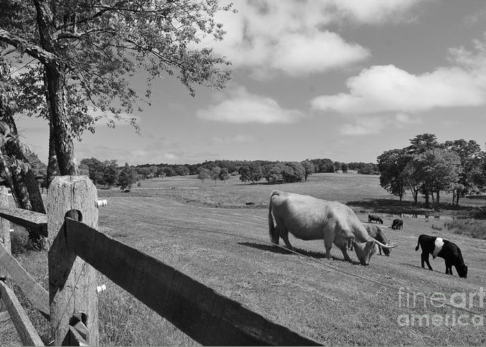Cattle Greeting Card featuring the photograph Grazing The Day Away by Catherine Reusch Daley