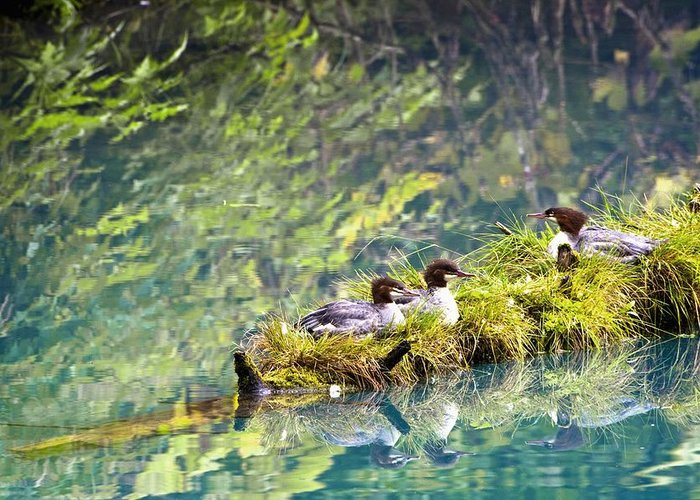 Alaska Greeting Card featuring the photograph Grebe Podicipedidae Birds Sitting On A by Richard Wear