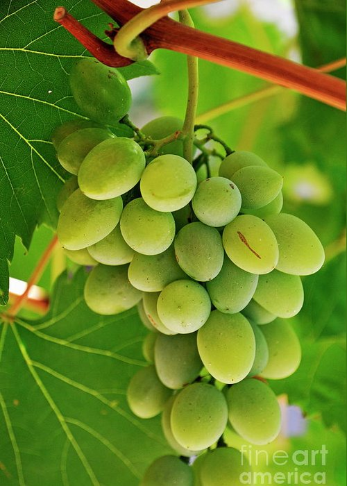 Branch Greeting Card featuring the photograph Green Grape And Vine Leaves by Sami Sarkis