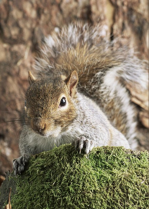 Sciurus Carolinensis Greeting Card featuring the photograph Grey Squirrel by David Aubrey