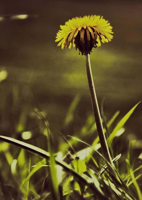 Dandelion Greeting Card featuring the photograph Ground Level Sun by Odd Jeppesen