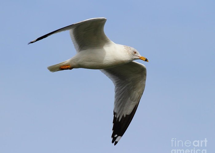 Bird Greeting Card featuring the photograph Gull In Flight . 7d12084 by Wingsdomain Art and Photography
