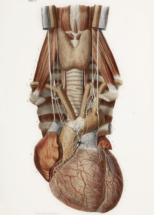 Anatomy Greeting Card featuring the photograph Heart And Neck, Historical Illustration by