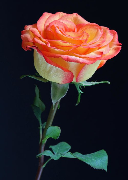 Rose Greeting Card featuring the photograph Heartwarming by Juergen Roth