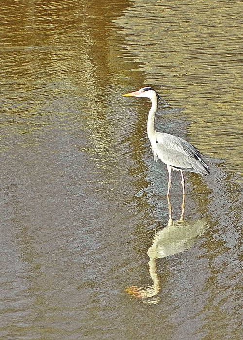 Heron Greeting Card featuring the photograph Heron by Sharon Lisa Clarke