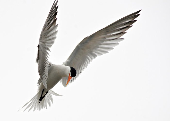 Tern Shorebird Greeting Card featuring the photograph Hover by Fraida Gutovich