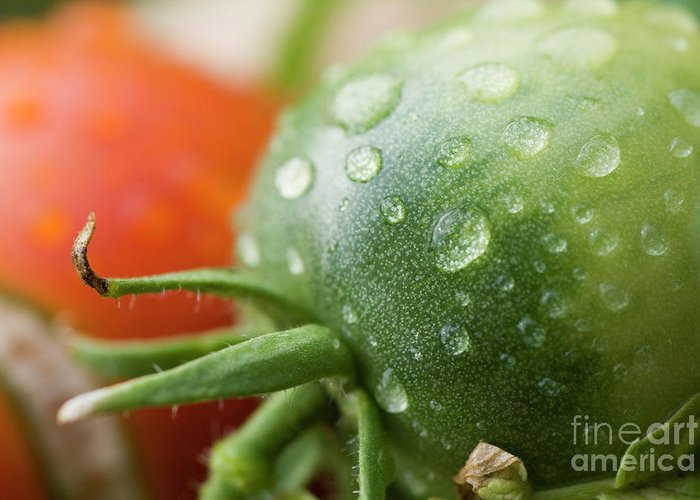 Drop Greeting Card featuring the photograph Immature Tomatoes by Sami Sarkis