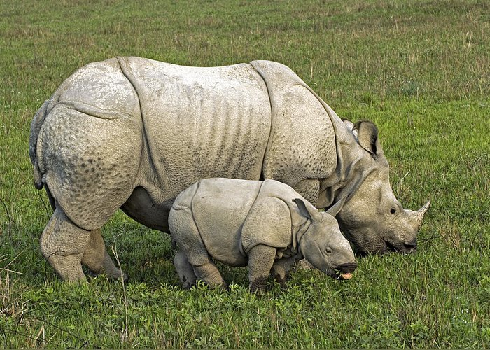 Rhinoceros Unicornis Greeting Card featuring the photograph Indian Rhinoceroses by Tony Camacho