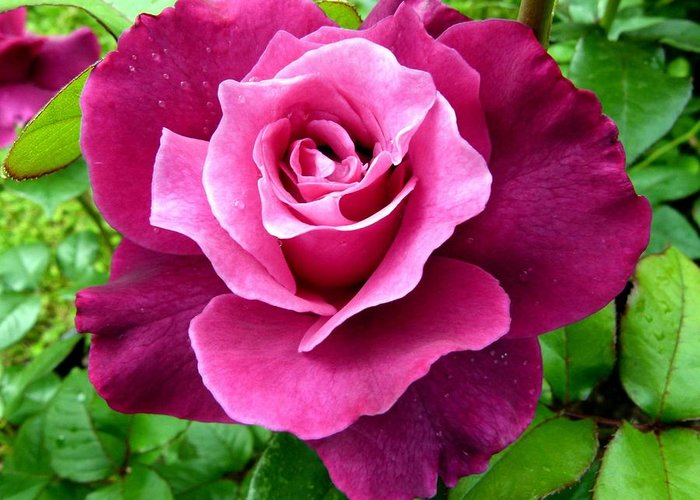 Intrigue Rose Greeting Card featuring the photograph Intrigue Rose by Will Borden