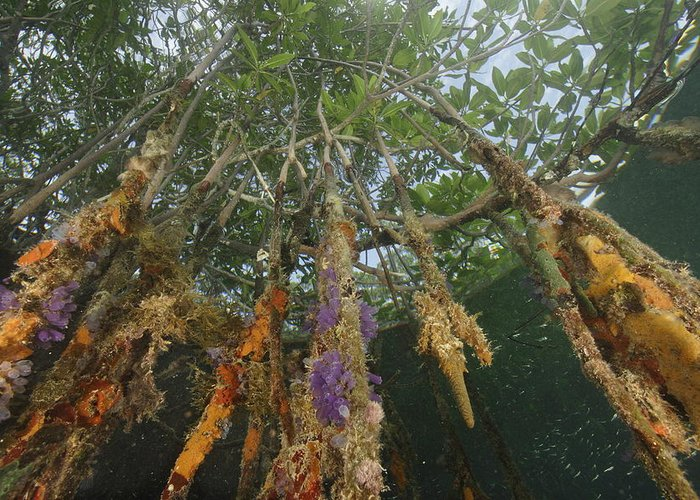 Red Mangrove Trees;rhizophora Mangle;sponges;tree Roots;aquatic Split Level Views;underwater Photography;bays And Inlets;belize;habitats And Ecosystems; Greeting Card featuring the photograph Invertebrate Life Growing On The Roots by Tim Laman