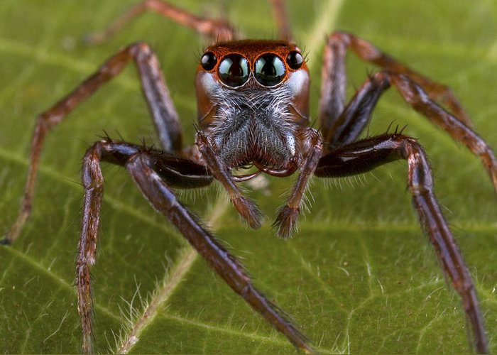 00479040 Greeting Card featuring the photograph Jumping Spider Papua New Guinea by Piotr Naskrecki