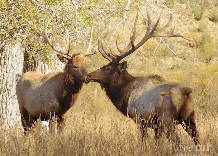 Animal Greeting Card featuring the photograph Junior Meets Bull Elk by Robert Frederick
