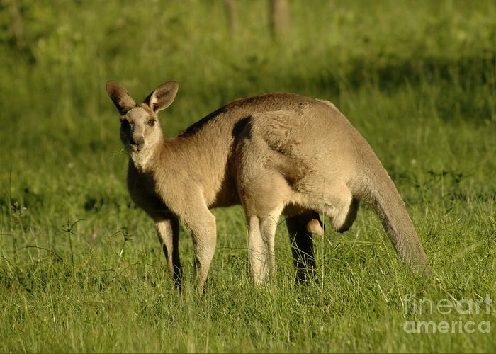 Kangaroo Greeting Card featuring the photograph Kangaroo Male by Bob Christopher