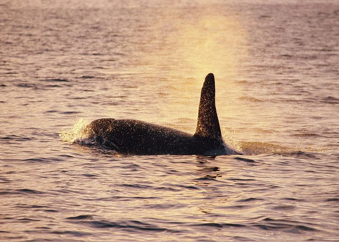 Orcinus Orca Greeting Card featuring the photograph Killer Whale by Alexis Rosenfeld