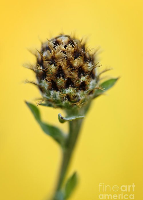 Knapweed Greeting Card featuring the photograph Knapweed Plant by Elena Elisseeva