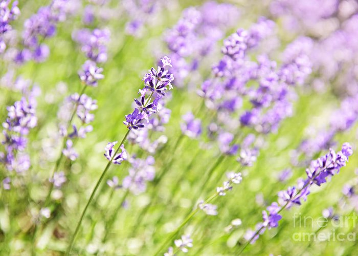 Lavender Greeting Card featuring the photograph Lavender Blooming In A Garden by Elena Elisseeva