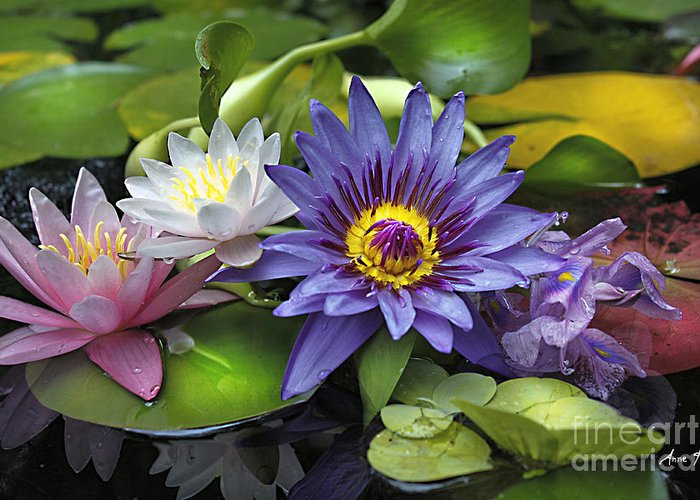 Waterlily Greeting Card featuring the photograph Lilies No. 16 by Anne Klar