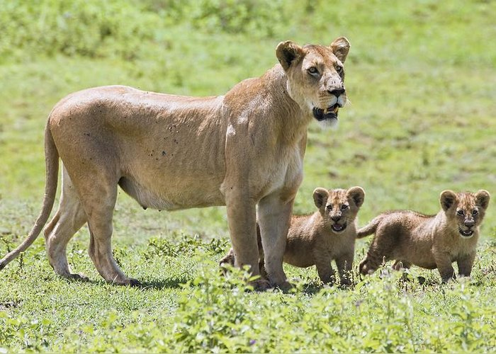 African Greeting Card featuring the photograph Lioness With Cubs by Carson Ganci