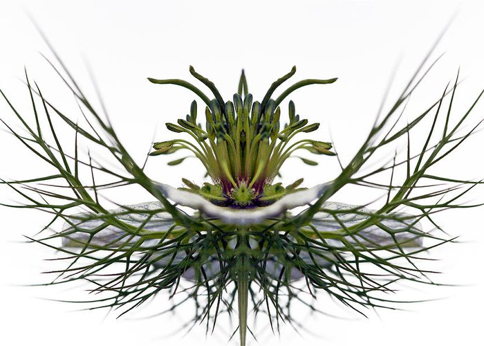 Creative Manipulation Greeting Card featuring the photograph Love In A Mist by Jean Noren