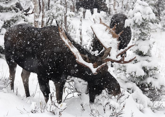 Attraction Greeting Card featuring the photograph Male Moose Grazing In Snowy Forest by Philippe Henry