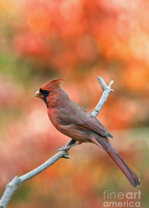 Male Northern Cardinal Cardinalis Cardinalis Redbird Red Backyard Bird Songbird Perch Twig Branch Wildlife Nature Fauna Autumn Fall Color Floyd County Indiana America American Greeting Card featuring the photograph Male Northern Cardinal - D007810 by Daniel Dempster