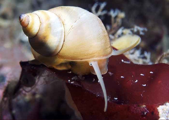 Epheria Vincta Greeting Card featuring the photograph Marine Snail by Alexander Semenov