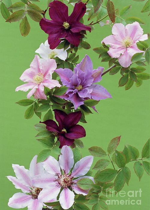 'nellie Moser' Greeting Card featuring the photograph Mixed Clematis Flowers by Archie Young