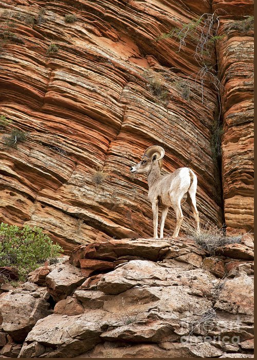 America Greeting Card featuring the photograph Mountain Goat by Jane Rix