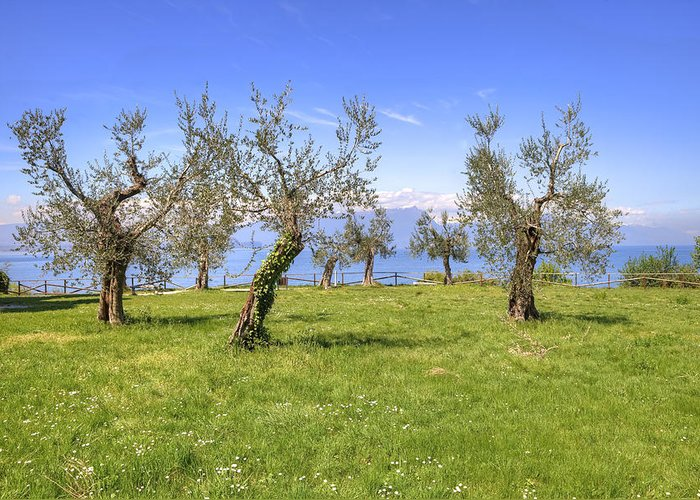 Sirmione Greeting Card featuring the photograph olive grove on Lake Gardan by Joana Kruse