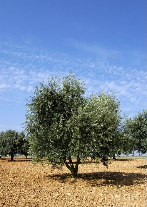 Agrarian Greeting Card featuring the photograph Olive Tree In Provence by Bernard Jaubert