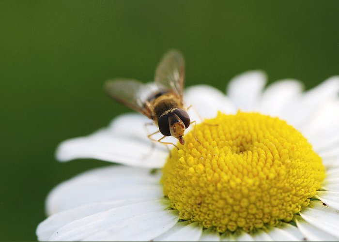 Bee Greeting Card featuring the photograph On A Daisy by Laura Melis