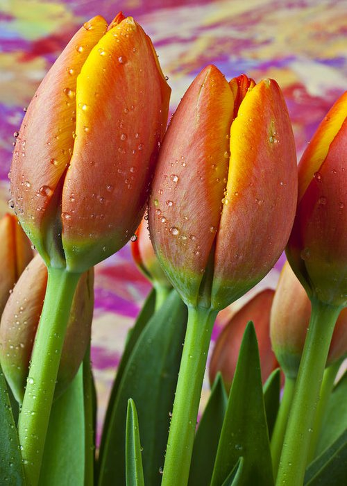 Orange Yellow Tulip Greeting Card featuring the photograph Orange Yellow Tulips by Garry Gay