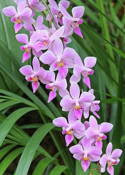 Becky Greeting Card featuring the photograph Orchids 15 by Becky Lodes