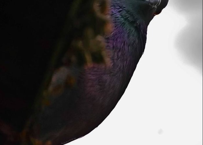 Pigeon Greeting Card featuring the photograph Peeking Pigeon by DigiArt Diaries by Vicky B Fuller