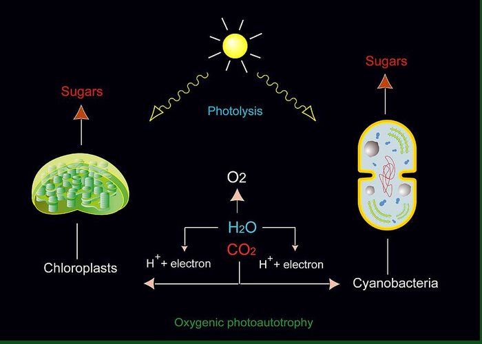 Chloroplast Greeting Card featuring the photograph Photosynthesis, Artwork by Francis Leroy, Biocosmos